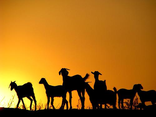 sunset sky india silhouette rural dusk profile goats ilp herd backlighting andhrapradesh