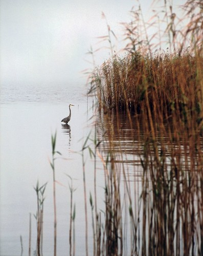 blue reflection bird film heron nature water birds fog mississippi landscape seaside nikon fuji wildlife scenic calm slidefilm scan coastal scanned fujifilm marsh 100 waterfowl fujichrome provia f5 cruse fujiprovia100 crusefineartscan coastelectric coastelectricpower