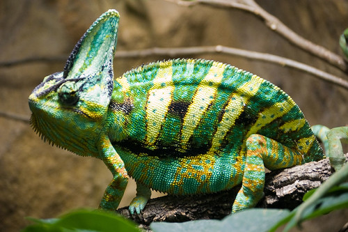 iNaturalist.org · Veiled Chameleon (Chamaeleo calyptratus)