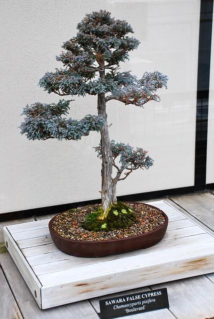 Sawara False Cypress Bonsai Flickr Photo Sharing