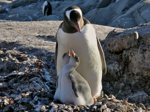 Gentoo and chicks by TinyBeauregard