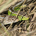 Sand Lizard - Photo (c) Li-Lian Williams, some rights reserved (CC BY-NC-SA)