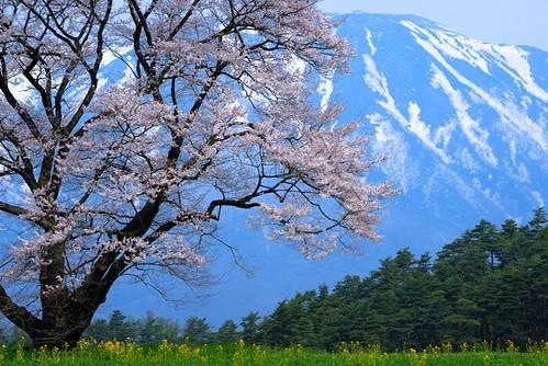 Sakura, Iwate-san