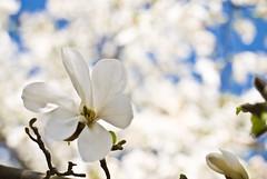 May Day Magnolia