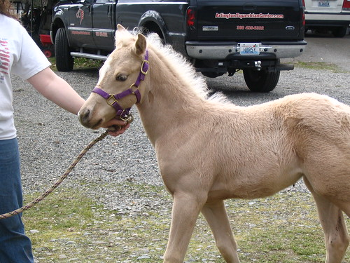 Palomino colt being led in driveway