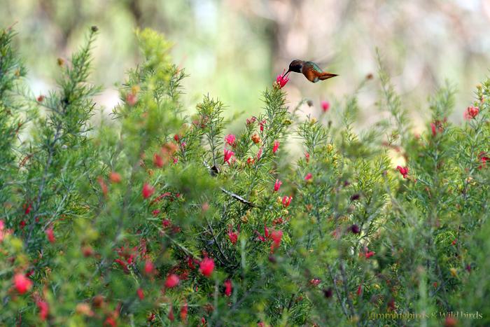 Allen's Hummingbird081-5