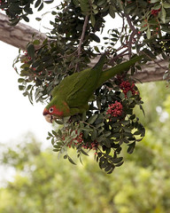 Parrot in a Tree