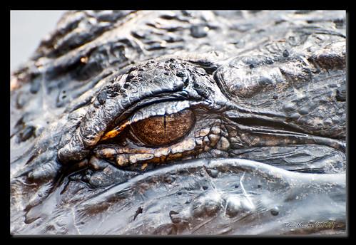 eye closeup ga georgia bay valdosta alligator grand wma lowndes d80