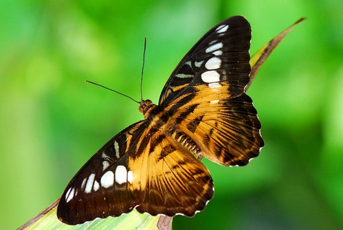The Brown clipper butterfly, Parthenos sylvia