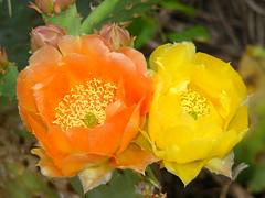 rosa foetida(0.0), floribunda(1.0), flower(1.0), yellow(1.0), macro photography(1.0), flora(1.0), opuntia(1.0), petal(1.0),