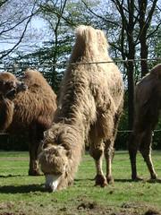 Grazing camel