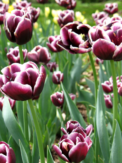 Tulipa 'Jackpot' Photo by Alison Dorfman