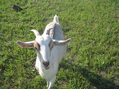 Edith, our Nanny Goat