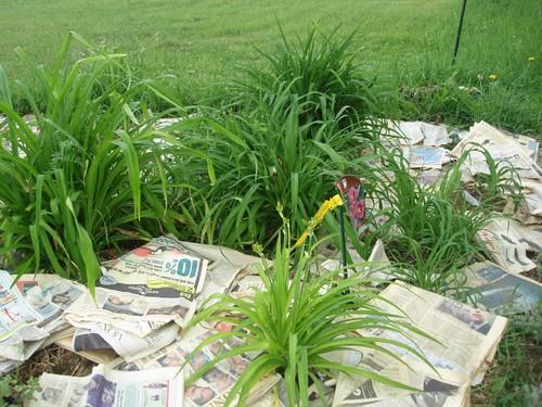 Killing Crabgrass among the daylily border