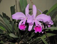 cattleya labiata, flower, purple, plant, laelia, flora, cattleya trianae, pink,
