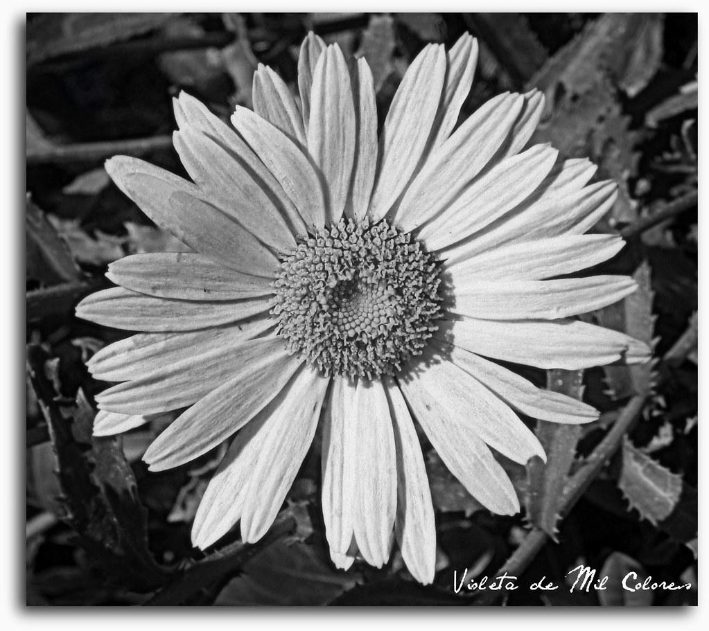 Flores En Blanco Y Negro Violeta De Mil Colores Flickr