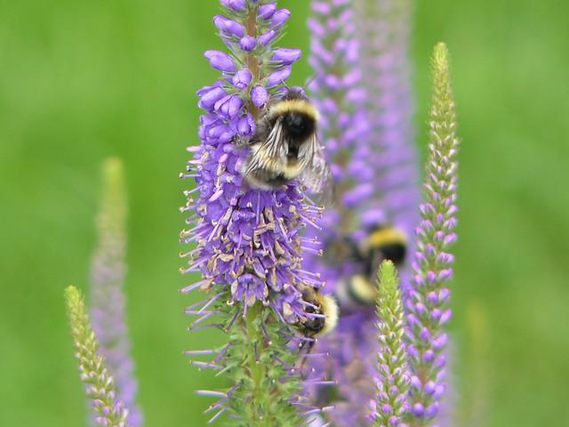 Bees & Veronica Spicata