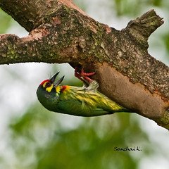 ตีทอง Coppersmith Barbet