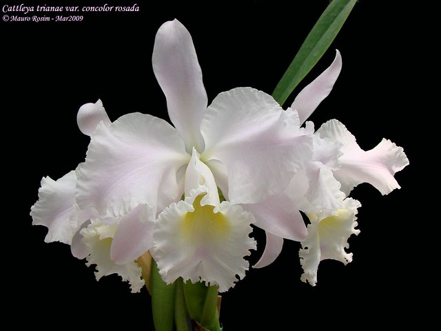 Picked By Us Cattleya Trianae F Concolor