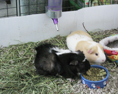animal, guinea pig, rodent, domestic rabbit, pet, rabits and hares,