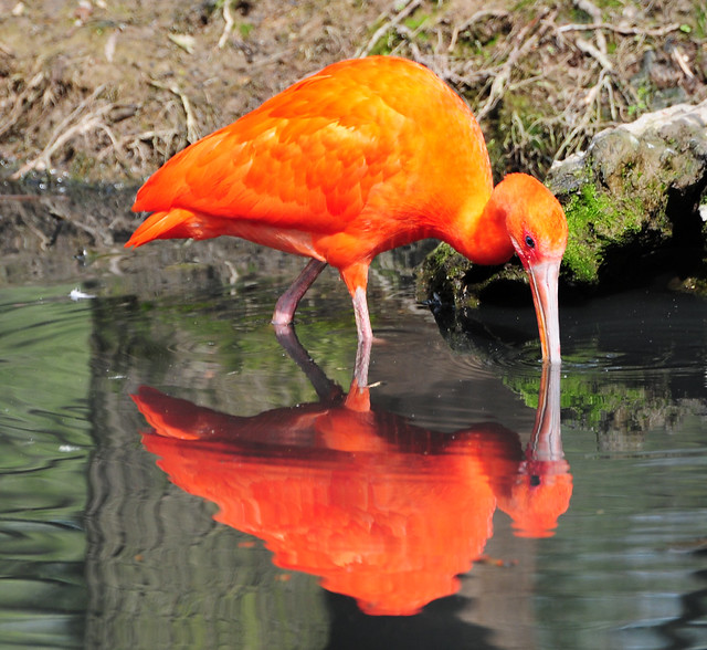 The red Ibis