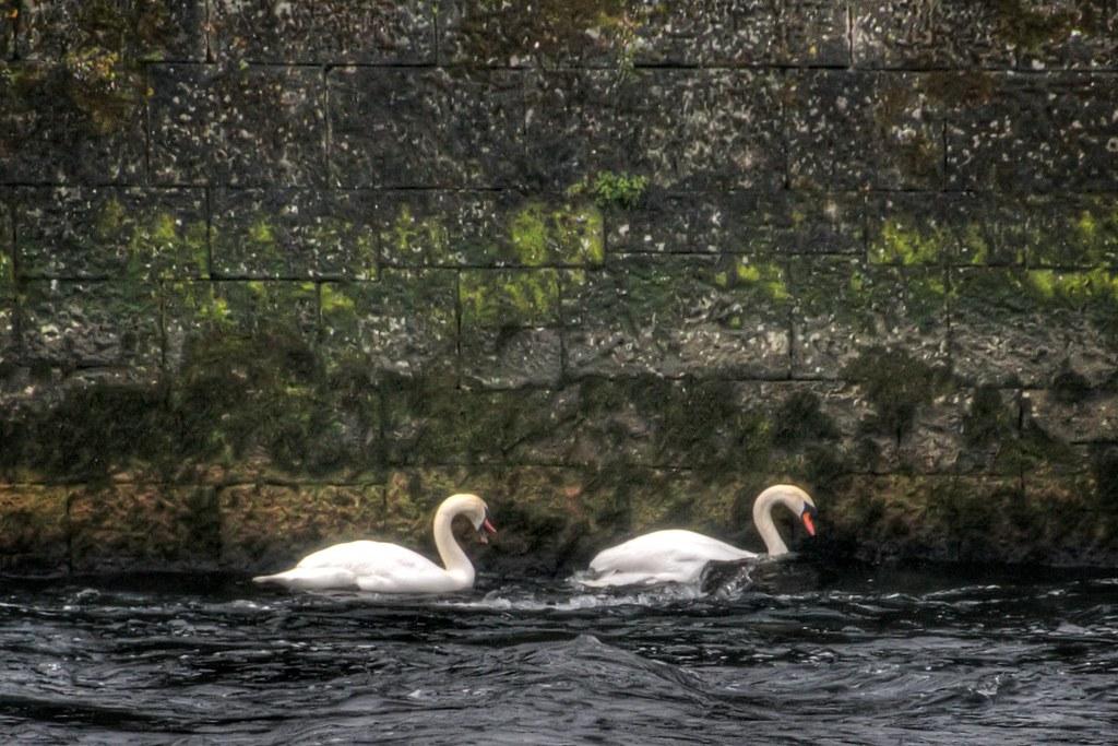 Swans on the Corrib