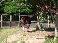 farm(0.0), mare(0.0), wildlife(0.0), zoo(1.0), okapi(1.0), horse(1.0), fauna(1.0), giraffidae(1.0),