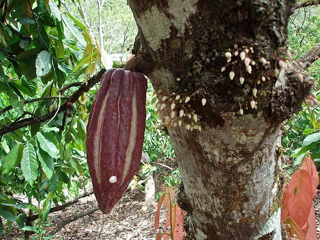 ... on tree - Cocoa y su flor; Semuc-Champey, Alta Verapaz, Guatemala