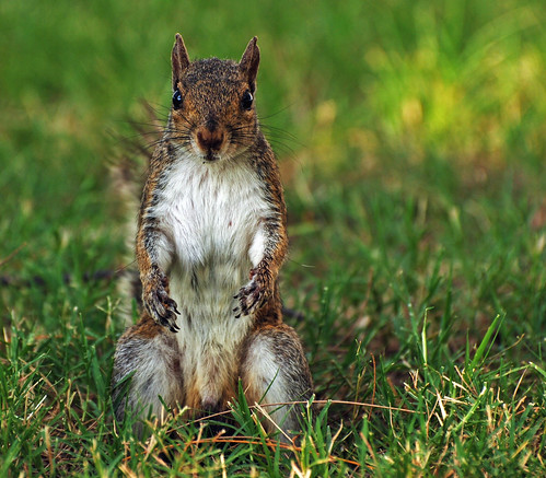 park nature animal closeup outside mammal outdoors rodent furry squirrel friend colorful looking natural florida critter watching peanut sarasota staring begging littleguy feedme ineedajob wldlife specanimal mywinners waitingforahandout kenthompsonpark michaelskelton michaeldskelton michaeldskeltonphotography