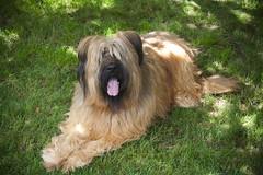 caucasian shepherd dog(0.0), leonberger(0.0), cairn terrier(0.0), dog breed(1.0), animal(1.0), dog(1.0), pet(1.0), catalan sheepdog(1.0), irish soft-coated wheaten terrier(1.0), carnivoran(1.0),