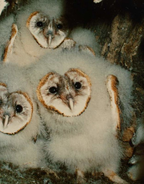 Young Barn Owls in Tree Nest (1981)