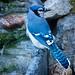 Blue Jay 4995 by Harvey Brink - Canadian Visuals