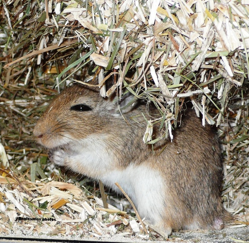 Mongolian Spring Mouse