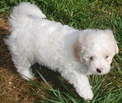 polish lowland sheepdog(0.0), toy poodle(1.0), miniature poodle(1.0), bichon frisã©(1.0), dog breed(1.0), animal(1.0), dog(1.0), cavachon(1.0), schnoodle(1.0), pet(1.0), lagotto romagnolo(1.0), coton de tulear(1.0), lã¶wchen(1.0), tibetan terrier(1.0), bolonka(1.0), poodle crossbreed(1.0), havanese(1.0), bichon(1.0), dandie dinmont terrier(1.0), cockapoo(1.0), goldendoodle(1.0), maltese(1.0), bolognese(1.0), carnivoran(1.0),