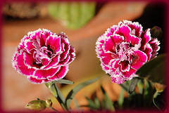carnation, flower, floral design, plant, macro photography, flora, floristry, close-up, peony, dianthus, pink, petal,