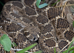 animal, serpent, eastern diamondback rattlesnake, snake, boa constrictor, reptile, hognose snake, fauna, viper, scaled reptile, wildlife,
