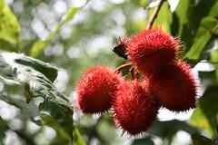 evergreen, rambutan, leaf, red, nature, macro photography, flora, fruit, close-up,