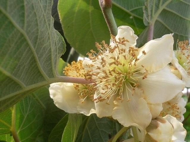 Actinidia chinensis (Kiwi flowers)
