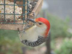 animal, perching bird, fauna, woodpecker, beak, bird,
