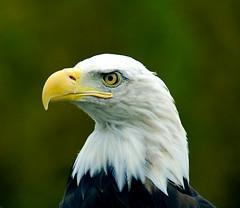 wing(0.0), egyptian vulture(0.0), animal(1.0), bird of prey(1.0), eagle(1.0), fauna(1.0), close-up(1.0), bald eagle(1.0), accipitriformes(1.0), beak(1.0), bird(1.0), wildlife(1.0),