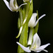 Sierra bog orchid - Photo (c) Ken-ichi Ueda, some rights reserved (CC BY-NC-SA)