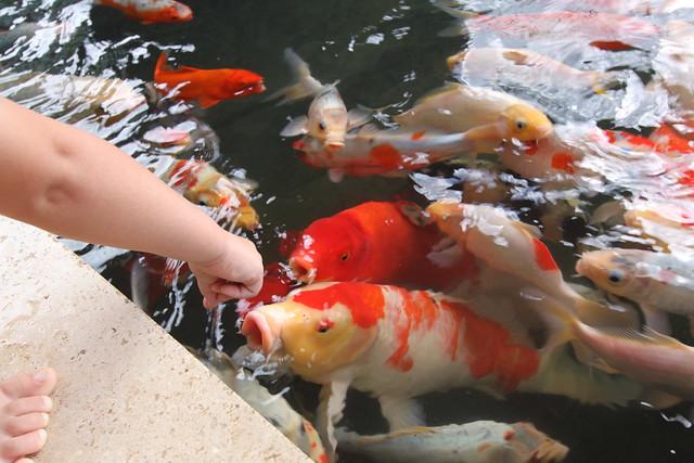Koi fish at feeding time flickr photo sharing for Feeding koi fish