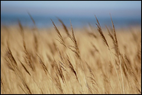 uk england reed nature reeds dof view bokeh somerset bristolchannel steart bridgwaterbay saariysqualitypictures