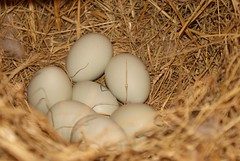 nest, bird nest, food, egg, close-up,