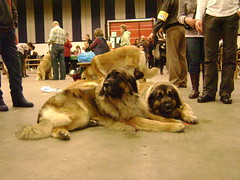 animal, dog, caucasian shepherd dog, leonberger, pet, mammal, conformation show,