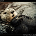 Seaotter in aquarium