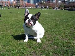dog breed, animal, dog, old english bulldog, pet, olde english bulldogge, toy bulldog, french bulldog, american bulldog, boston terrier, carnivoran, bulldog,