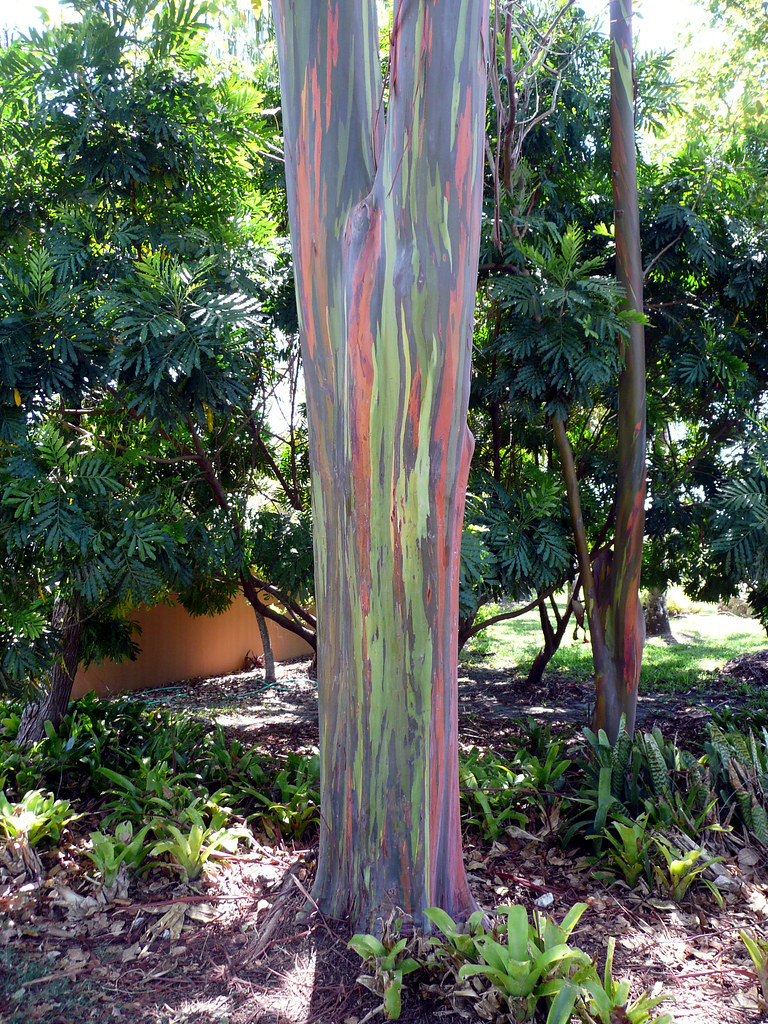 Photos Of The Rainbow Eucalyptus A Colorful Tree