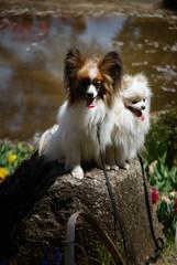 animal, puppy, flower, dog, pet, mammal, phalã¨ne, papillon,