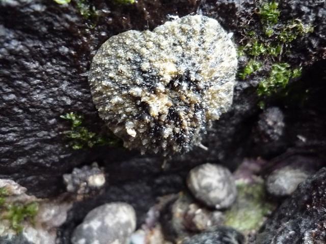 海香菇 sea mushromm |